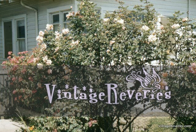Rose hedge kodachrome picture