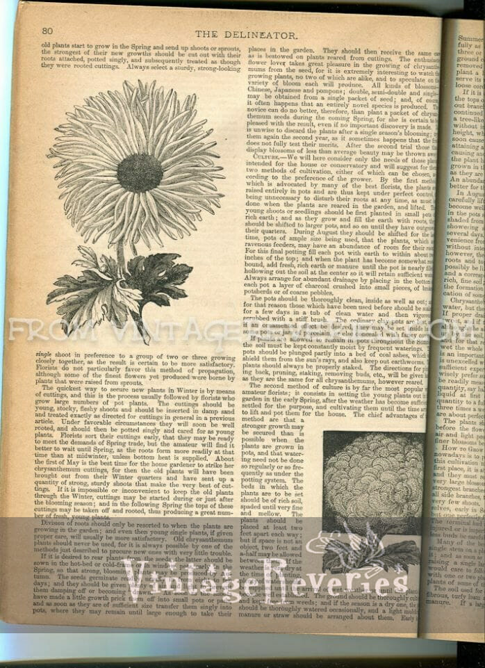 1890s chrysanthemum keeping